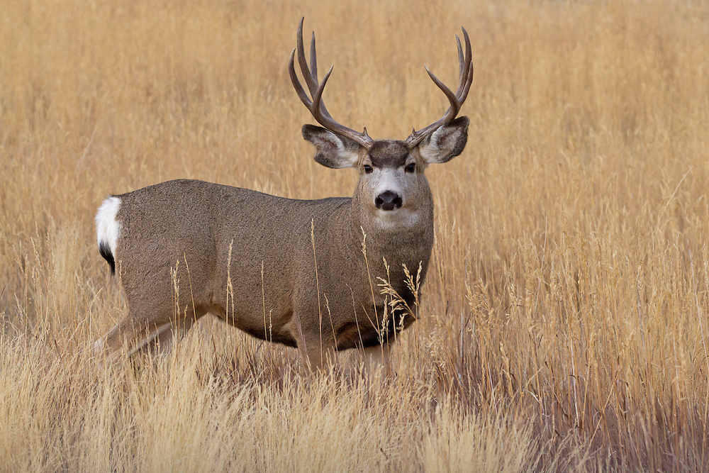 Mule deer antlers branch equally into two main beams, which may fork into two tines. The size and number of points is dependent on a combination of age, nutrition, and genetic background of the buck.