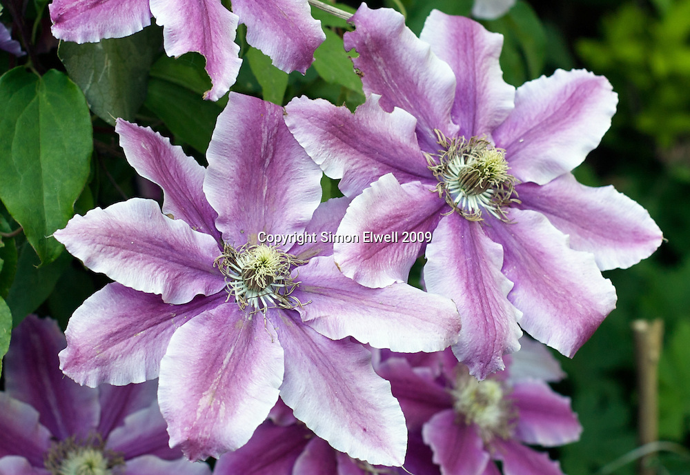 Pink and white clematis in a garden