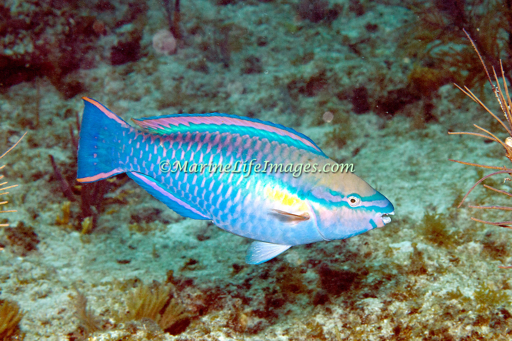 Princess Parrotfish swim about reefs and adjacent areas scrapping filamenmtous algae from hard substrates in  Tropical West Atlantic; picture taken Key Largo, FL.