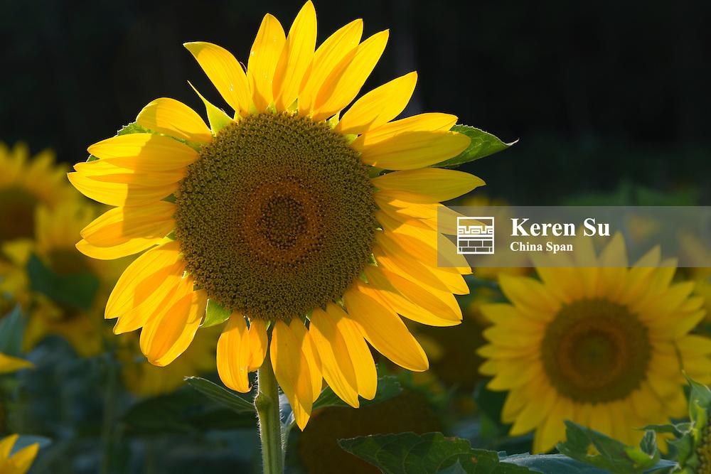 Sunflower farm, Furano, Hokkaido Prefecture, Japan