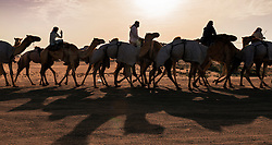 Camel racing festival at Al Marmoum camel racing racetrack in Dubai United Arab Emirates 2014