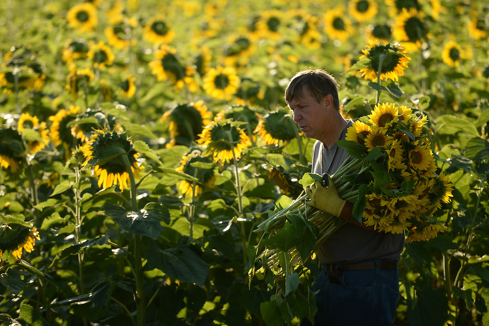 7/28/16 :: REGION :: STAND ALONE :: Volunteers harvest sunflowers at Buttonwood Farm in Griswold Thursday, July 28, 2016 for the farm's 13th annuals Sunflowers for Wishes fundraiser. A bouquet of sunflowers can be had for a $10 donation to the Make-A-Wish Foundation during the event which runs through this weekend. The event has raised over $1 million since it began.  (Sean D. Elliot/The Day)