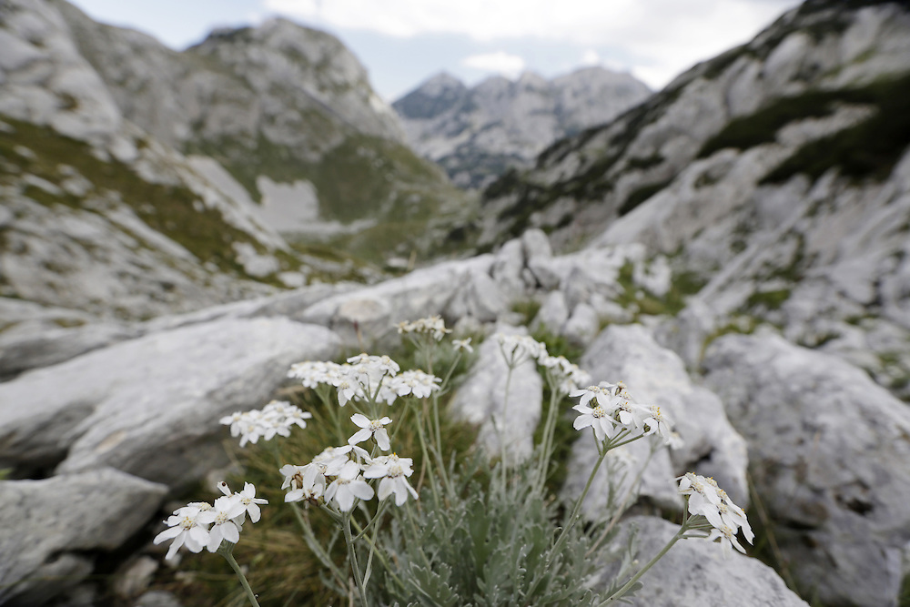 White flowers on the approach to Bobotov Kuk, from Crno Lake, Zabljak, Durmitor, Montenegro.