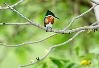 Green Kingfisher (Chloroceryle americana), Araras Ecolodge,  Mato Grosso, Brazil (Photo: Peter Llewellyn)