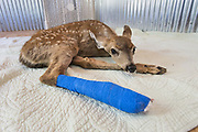 Black-tailed Deer<br /> Odocoileus hemionus<br /> 1-2 week old fawn with broken leg <br /> Loomis, California