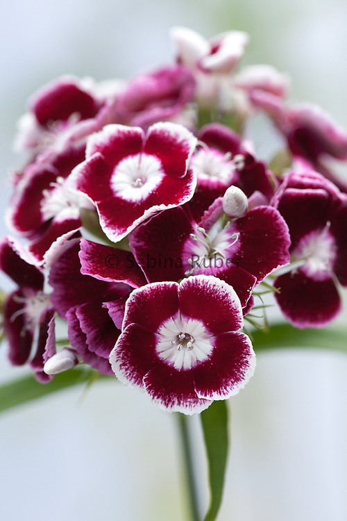 Dianthus barbatus 'Auricula Eyed Mix' - sweet william
