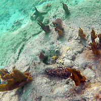 France, Guadeloupe, Iles des Saintes. Chocolate Chip Sea Cucumber in waters of the Caribbean.