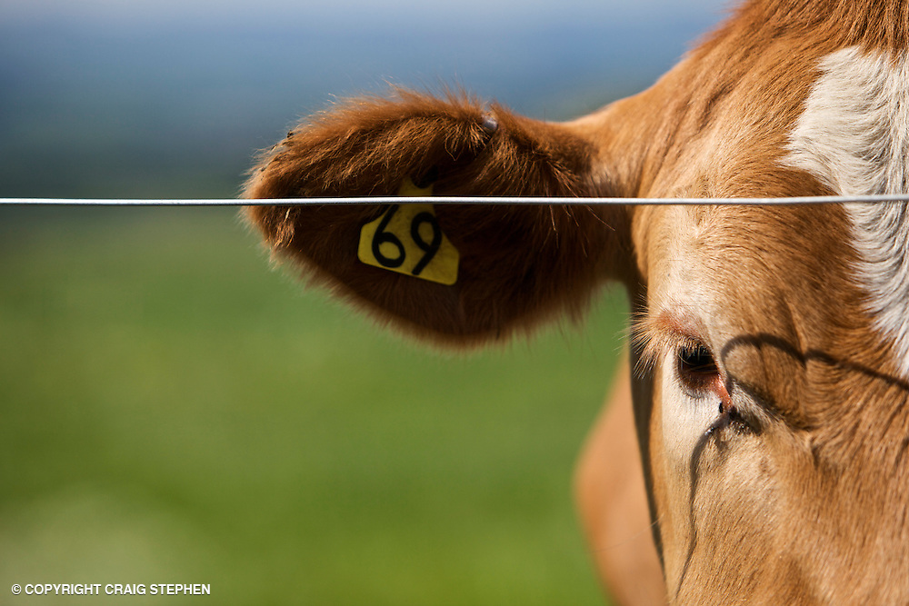Limousin cross cow extreme tight head shot
