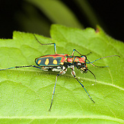 Tiger Beetle (Cosmodela aurulenta juxtata) in Kaeng Krachan National Park, Thailand.