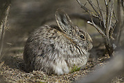A Pygmy rabbit soaks up some sun in a controlled rearing site on the edge of Moses Coulee. State Fish and Wildlife biologists are rereleasing the rabbits, which are endangered, from the last-known wild population. In winter, 90 percent of their diet is sagebrush. (Steve Ringman / The Seattle Times)