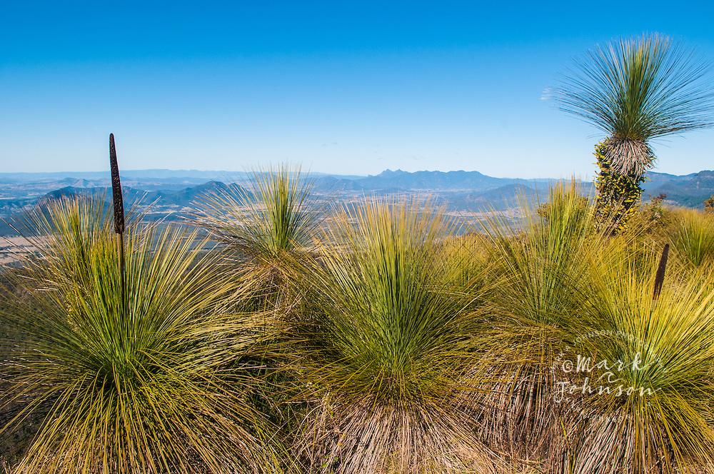 Grass trees on Mt. Mitchell, Main Range National Park, Queensland, Australia