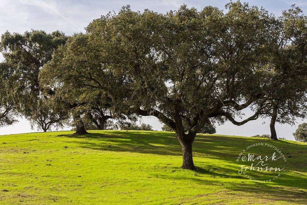 Cork trees in grassy field outside Evora, Portugal