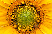 Close-up of giant sunflower in Hawaii