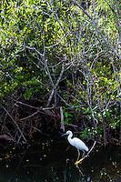 US, Florida, Everglades, Shark Valley. Snowy Egret.