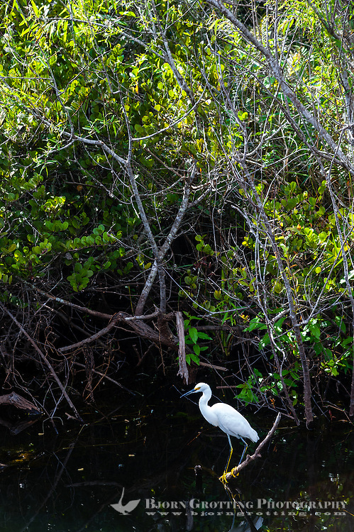 US, Florida, Everglades, Shark Valley. Snowy Egret.