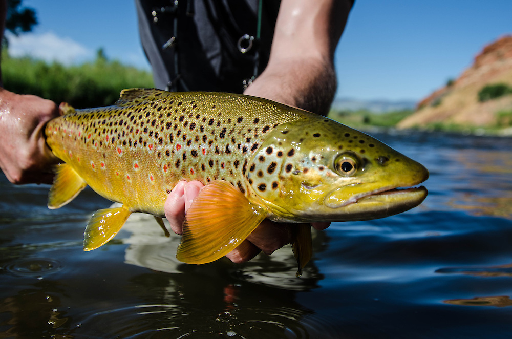 High water and a bit off color, this Brown came and hammered a huge streamer.