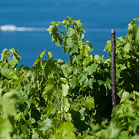 Vineyards by the sea near Trieste, Italy