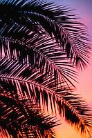 Palm fronds at sunset Arizona USA&#xA;<br />