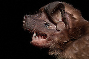 Mastiff Bat (Molossus molossus) CAPTIVE<br /> Karanambu Lodge<br /> Rupununi<br /> GUYANA<br /> South America