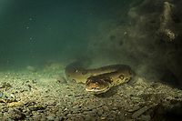 """A large female green anaconda (Eunectes murinus) underwater in a river system in Bonito, Mato Grosso Sul, Brazil. Photographed while filming Tales by Light, Season 2, Episode 3, """"Misunderstood Predators"""", for Netflix and National Geographic Australia. August, 2016."""