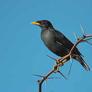 The great myna (Acridotheres grandis) is a species of starling in the Sturnidae family. It is found in northeast India and throughout southeast Asia.