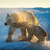 Canada, Nunavut Territory, Repulse Bay, Polar Bear and Cub (Ursus maritimus) shakes off water from boat after swimming near Harbour Islands