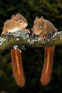DEU, Deutschland: Europäisches Eichhörnchen (Sciurus vulgaris), zwei Jungtiere, ca. 7 Wochen alt, bei ihrer ersten Begegnung mit der Natur, sie sind Nesthocker und werden blind und nackt geboren, sie öffnen die Augen mit 30-32 Tagen, mit ca. 12 Wochen verlassen die Jungen das Nest, die Farbe des Felles, auch innerhalb eines Wurfes variiert und kann von fuchsrot bis schwarz sein, dieser zwei Tiere gehören zu einem Wurf, der aus dem Nest fiel, als der Baum gefällt wurde, und werden nun von  Mitgliedern des Eichhörnchen-Schutzprojektes, die über das gesamte Land verteilt sind, per Hand aufgezogen, um sie später in die Freiheit zu entlassen, München, Bayern | DEU, Germany: Eurasian Red Squirrel (Sciurus vulgaris), two circa 7 weeks old young animals meeting the nature first time, squirrels are altricial animals, born blind and naked, open the eyes with 30-32 days, with 12 weeks they leaving the nest, the coat color, also within a litter, varied and can be rufous to black, the litter, which falling out of nest, when the tree cut down, breeding by hand now from members of the red squirrel protection project, Munich, Bavaria