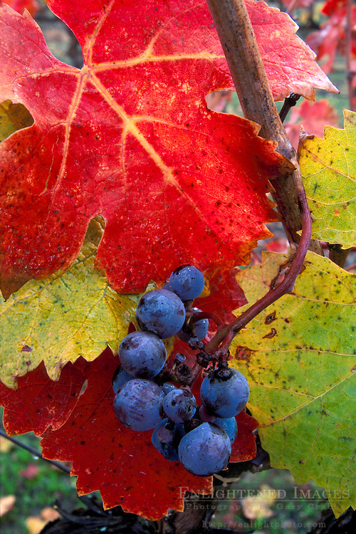Red wine grapes and leaves in fall, Alexander Valley vineyard, near Asti, Sonoma County, CALIFORNIA