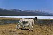 Mongolia. Hovsgul frozen lake area  Hovsgul aimak     /  au bord du lac Hovsgul.gelé.   province de  Hovsgul