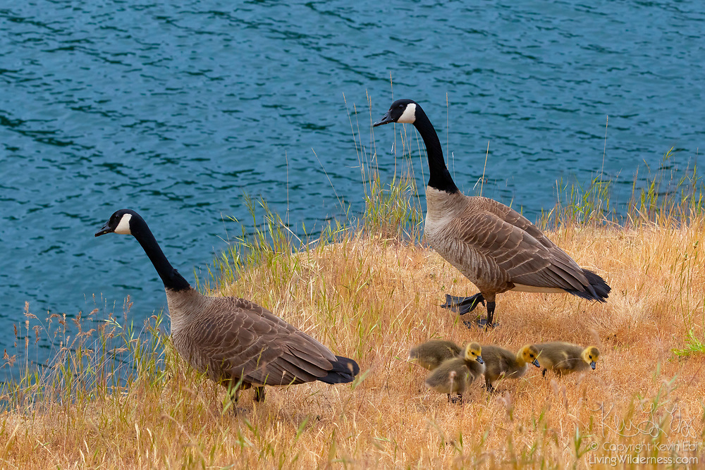 A family of Canada geese (Branta canadensis) — two adults and four goslings — feed on a bluff over the water of Smallpox Bay in San Juan County Park on San Juan Island, Washington. Smallpox Bay was named for a smallpox outbreak that killed Indians. Indians who were infected with the disease in Victoria where brought across Haro Straight in 1860 to die near the bay on the west side of San Juan Island.