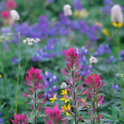 Riot of color as wildflowers bloom in Mt. Rainier National Park, WA.