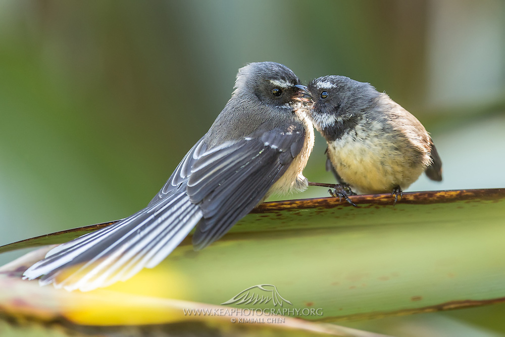Preening male and female New Zealand Fantails, Southland.
