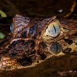 """Jacaré-de-papo-amarelo (Caiman latirostris) fotografado em Linhares, Espírito Santo -  Sudeste do Brasil. Bioma Mata Atlântica. Registro feito em 2015.<br /> <br /> <br /> <br /> ENGLISH: Broad-snouted caiman photographed in Linhares, Espírito Santo - Southeast of Brazil. Atlantic Forest Biome. Picture made in 2015."""