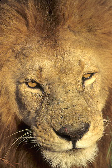 African Lion, (Panthera leo) Portrait of mature male. Masai Mara Game Reserve. Kenya. Africa.