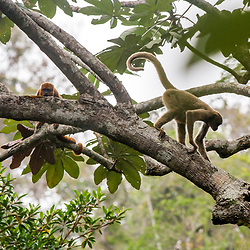 """Muriqui-do-norte e Bugio-ruivo (Brachyteles hypoxanthus e Alouatta guariba) fotografado em Santa Maria de Jetibá, Espírito Santo -  Sudeste do Brasil. Bioma Mata Atlântica. Registro feito em 2016.<br /> <br /> ENGLISH: Northern muriqui and Howler monkey photographed  in Santa Maria de Jetibá, Espírito Santo - Southeast of Brazil. Atlantic Forest Biome. Picture made in 2016."""