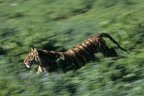 Bengal Tiger, (Panthera tigris) Adult running. Captive Animal.