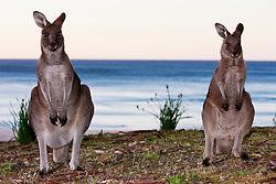 Two eastern grey kangaroos (Macropus giganteus) sitting on the beach before sunrise,  Batemans May, New South Wales,  Australia