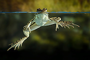 A rio grande leopard frog (Rana berlandieri) floats in water, Texas. Temporarily captive.