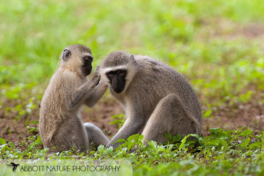 Vervet Monkey (Cercopithecus aethiops)<br /> SOUTH AFRICA: Mpumalanga Province<br /> Kruger National Park; near Satara Camp area<br /> 13-15.Jan.2006<br /> J.C. Abbott #2222
