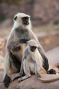 Indian Langur female monkey, Presbytis entellus, with juvenile in Ranthambhore National Park, Rajasthan, Northern India