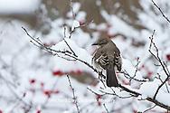 01395-02808 Northern Mockingbird (Mimus polyglottos) in Common Winterberry bush (Ilex verticillata) in winter, Marion Co., IL