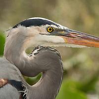A Great Blue Heron at Everglades National Park, Florida.
