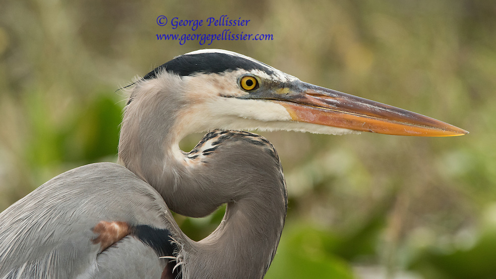 A Great Blue Heron at Everglades National Park, Florida.