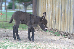 Athens, AL, -- Decatur Daily feature story about Donkeys, Friday, April 07, 2006 at the Donkey Farm in Athens.