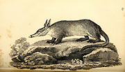 Ant-Eater from General zoology, or, Systematic natural history Part I, by Shaw, George, 1751-1813; Stephens, James Francis, 1792-1853; Heath, Charles, 1785-1848, engraver; Griffith, Mrs., engraver; Chappelow. Copperplate Printed in London in 1800. Probably the artists never saw a live specimen