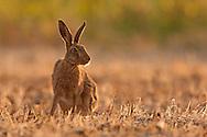 European Hare (Lepus europaeus) adult at rest in mown hay meadow, Norfolk, UK.