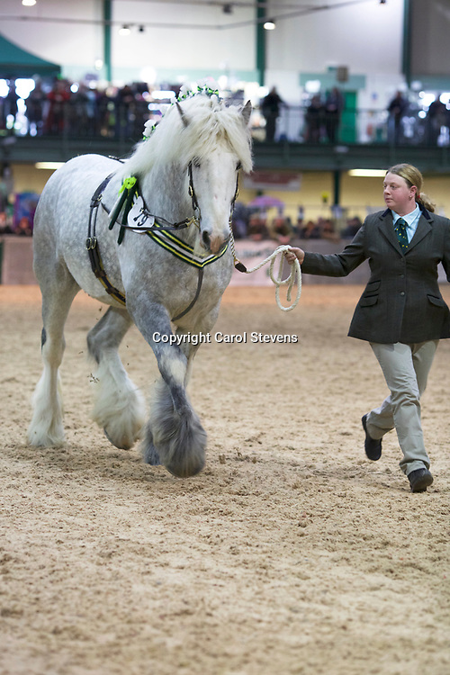Miss H Booker's WHITEWALL LIMITED EDITION  f 2009  (No.79)<br /> Sire  Moorfield Grey Lad<br /> Dam  Moorfield Beth<br /> Breeder  Mrs J Booker