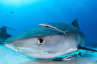 Tiger Shark and Remoras<br /> <br /> Shot in Bahamas