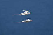 Red-tailed Tropicbirds, courtship flying, Kilauea Point, Kaua'i
