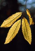 Chestnut tree leaves, England, UK